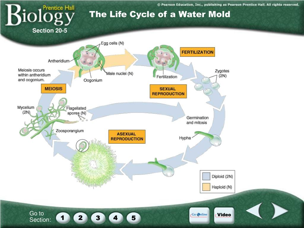 The Life Cycle of a Water Mold