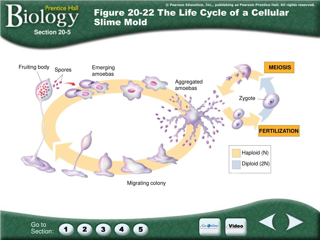 Figure 20-22 The Life Cycle of a Cellular Slime Mold