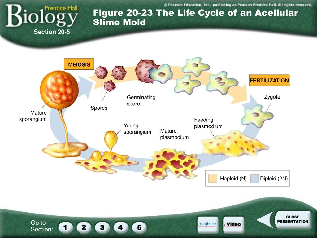 Figure 20-23 The Life Cycle of an Acellular Slime Mold