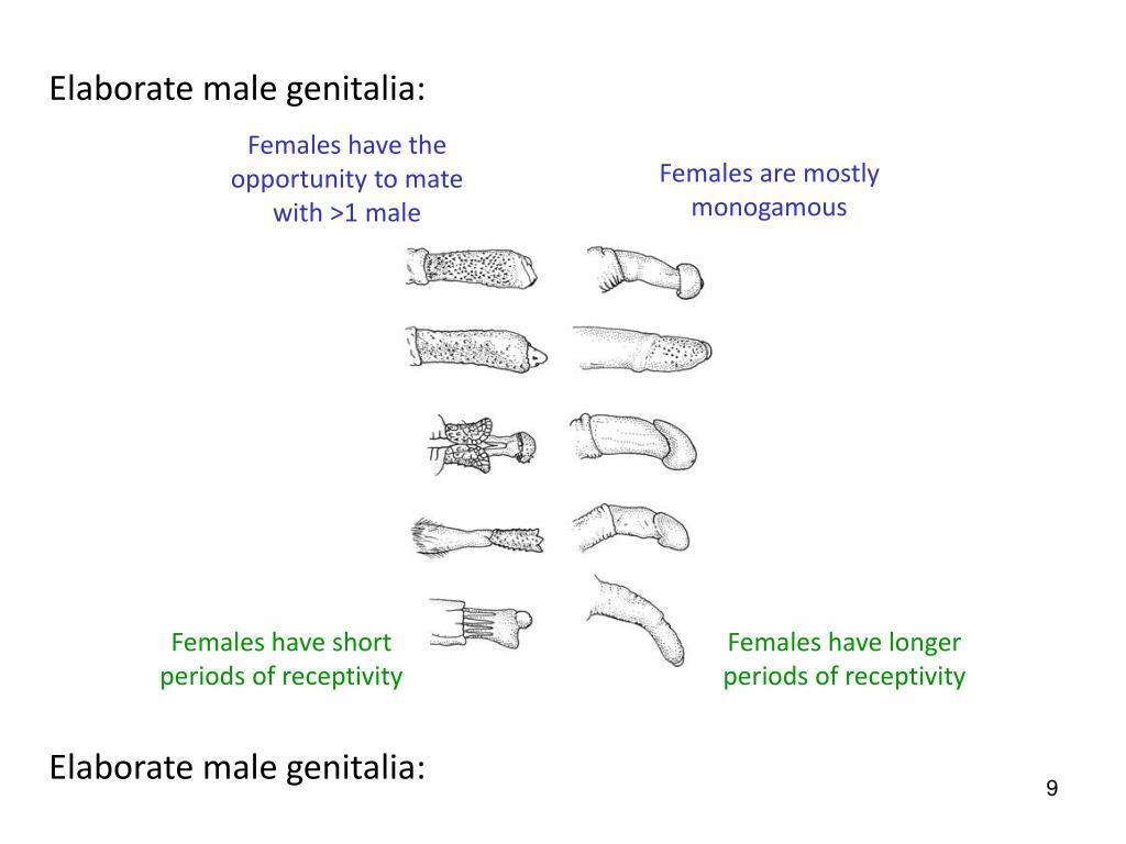 Elaborate male genitalia: