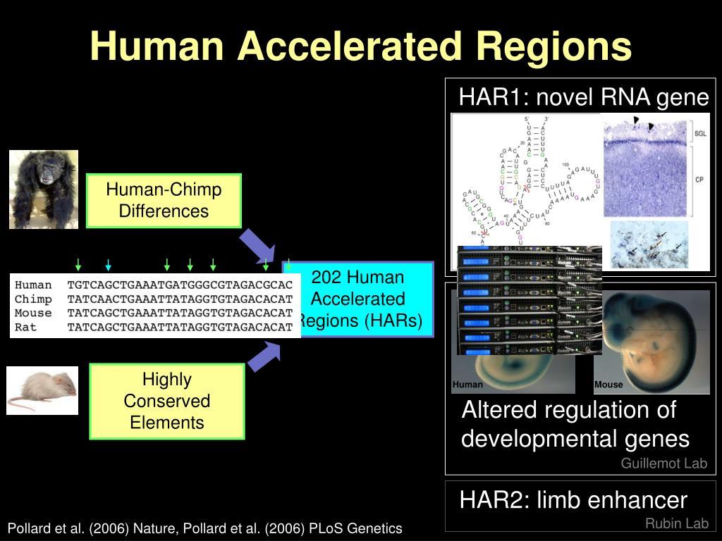 HAR1: novel RNA gene