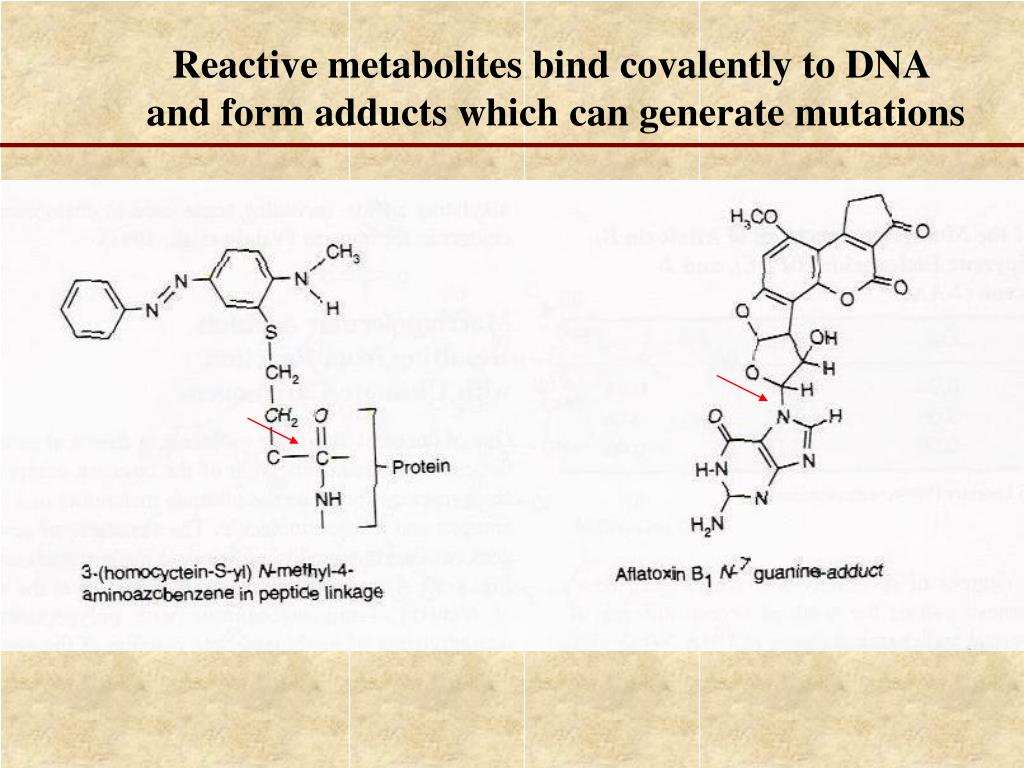 Reactive metabolites bind covalently to DNA