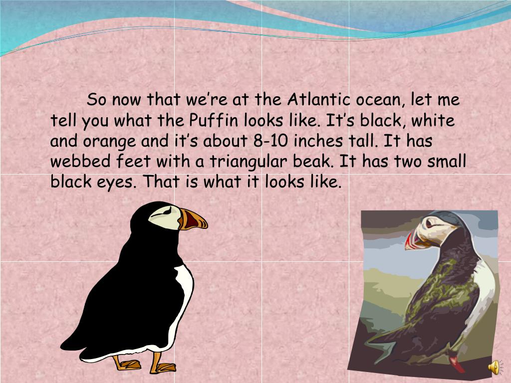 So now that we're at the Atlantic ocean, let me tell you what the Puffin looks like. It's black, white and orange and it's about 8-10 inches tall. It has webbed feet with a triangular beak. It has two small black eyes. That is what it looks like.