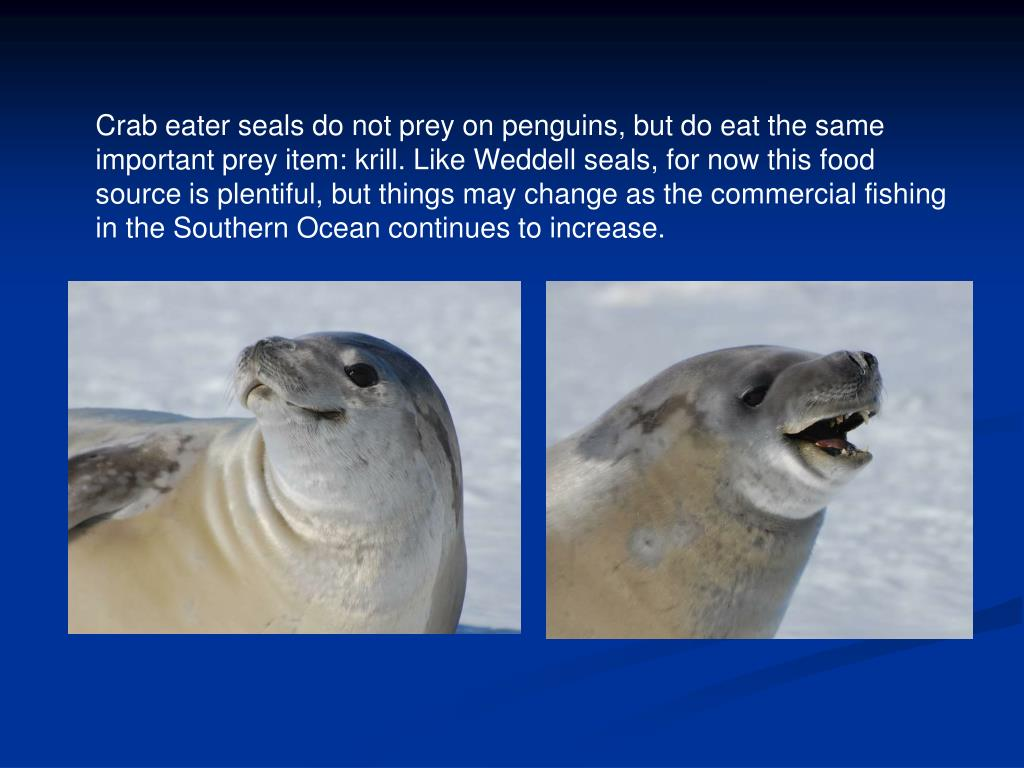Crab eater seals do not prey on penguins, but do eat the same important prey item: krill. Like Weddell seals, for now this food source is plentiful, but things may change as the commercial fishing in the Southern Ocean continues to increase.
