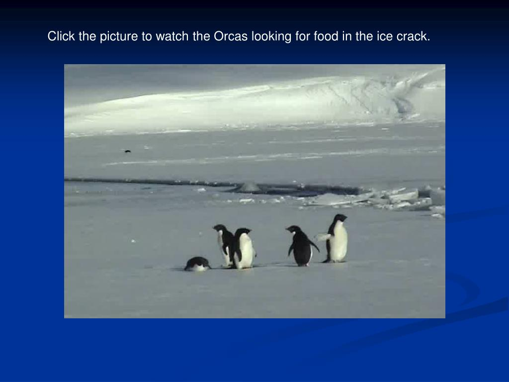 Click the picture to watch the Orcas looking for food in the ice crack.