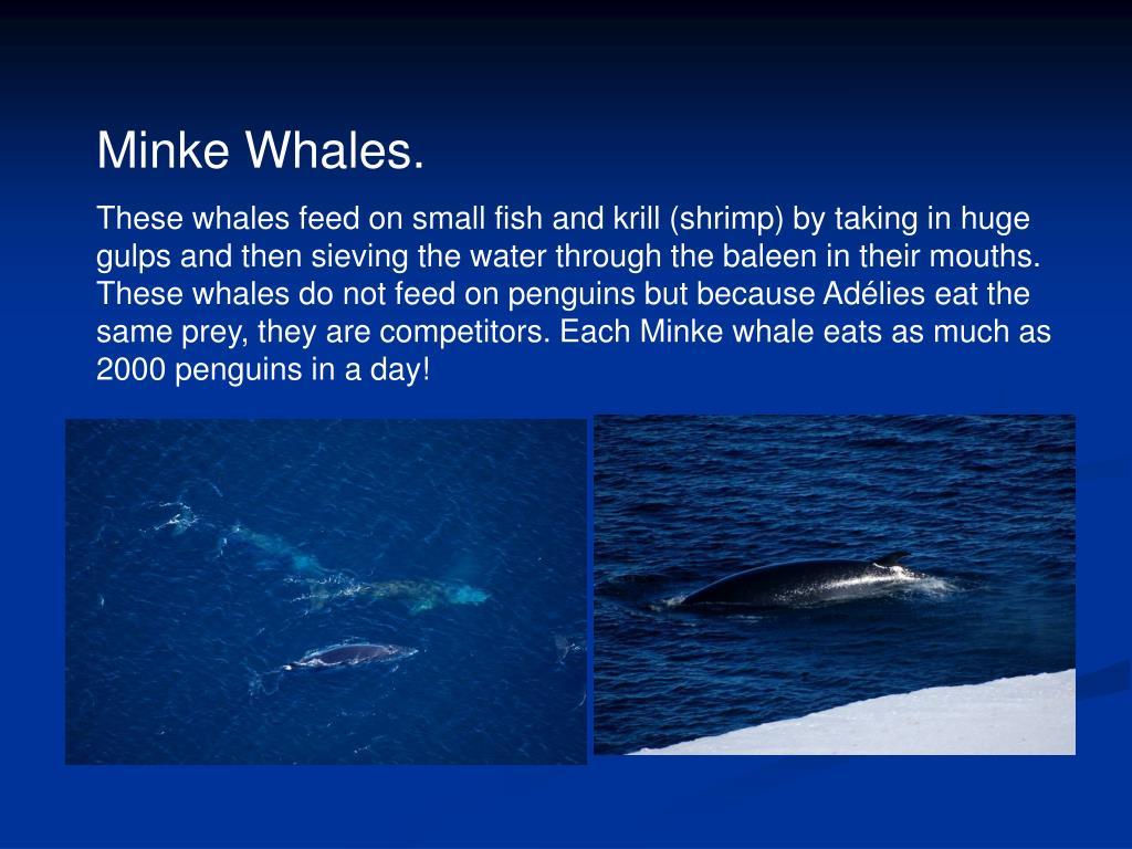 Minke Whales.