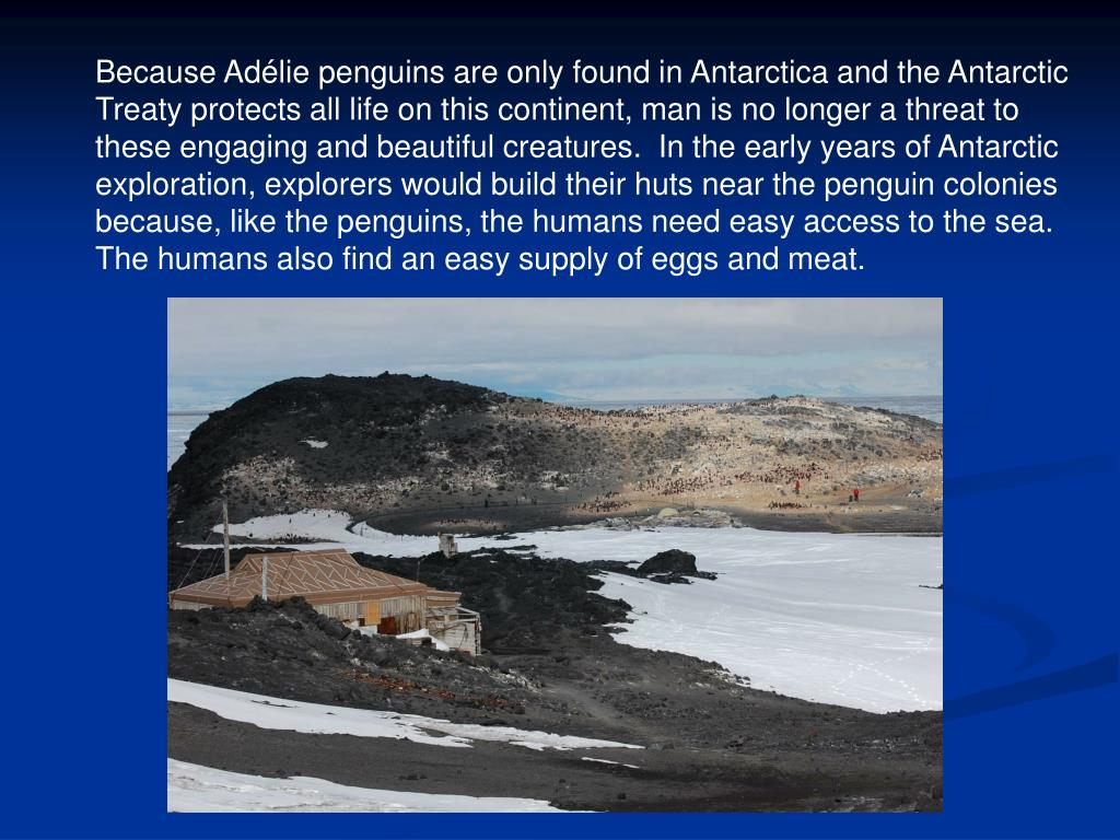 Because Adélie penguins are only found in Antarctica and the Antarctic Treaty protects all life on this continent, man is no longer a threat to  these engaging and beautiful creatures.  In the early years of Antarctic exploration, explorers would build their huts near the penguin colonies because, like the penguins, the humans need easy access to the sea. The humans also find an easy supply of eggs and meat.