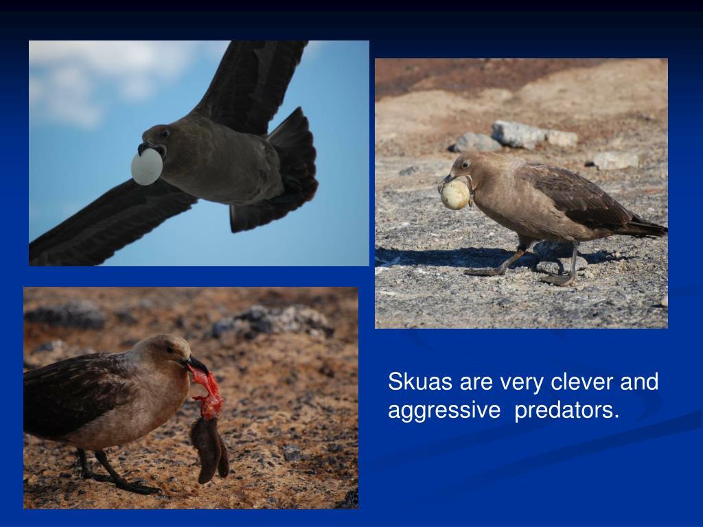 Skuas are very clever and aggressive  predators.