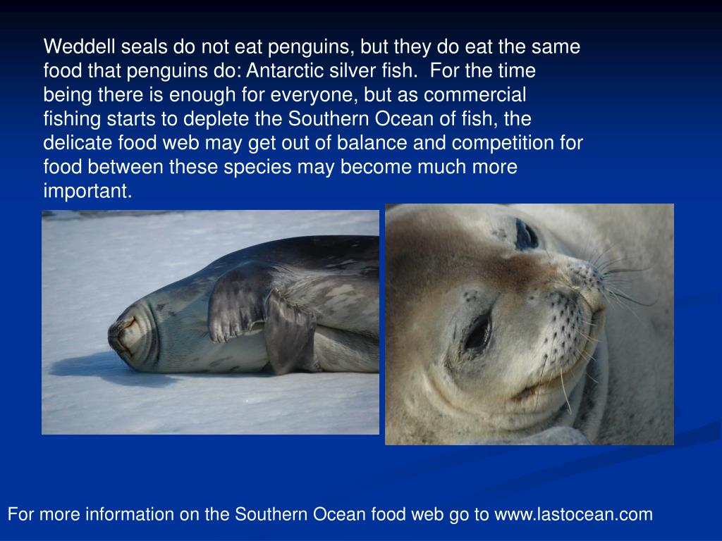 Weddell seals do not eat penguins, but they do eat the same food that penguins do: Antarctic silver fish.  For the time being there is enough for everyone, but as commercial fishing starts to deplete the Southern Ocean of fish, the delicate food web may get out of balance and competition for food between these species may become much more important.