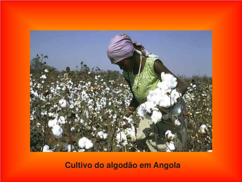Cultivo do algodão em Angola
