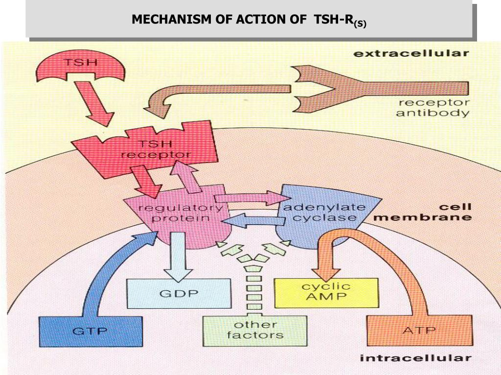 MECHANISM OF ACTION OF  TSH-R