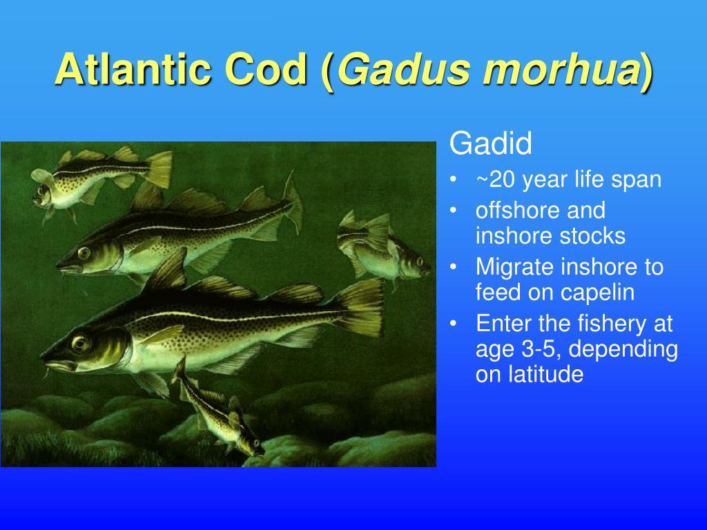 Atlantic Cod (
