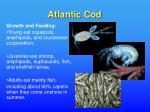 atlantic cod15