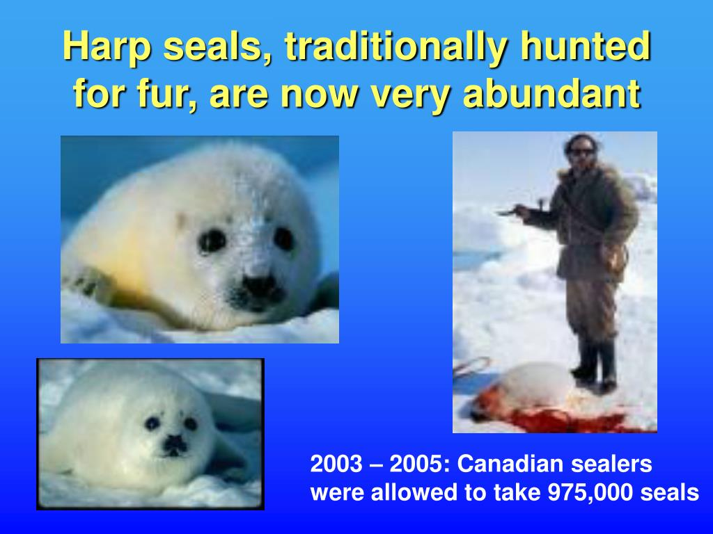 Harp seals, traditionally hunted for fur, are now very abundant