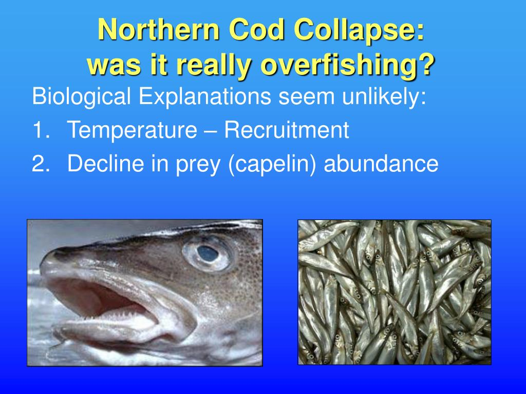 Northern Cod Collapse: was it really overfishing?