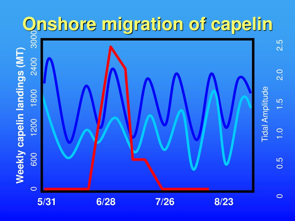 Onshore migration of capelin