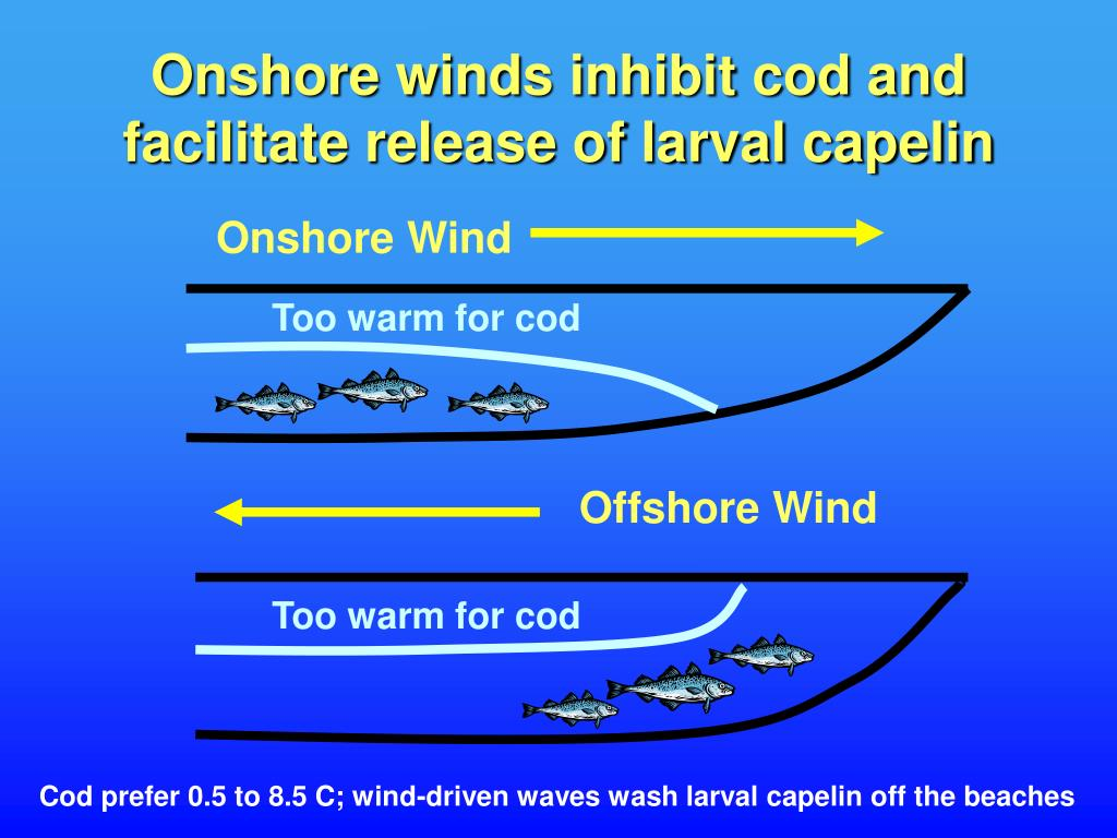 Onshore winds inhibit cod and facilitate release of larval capelin
