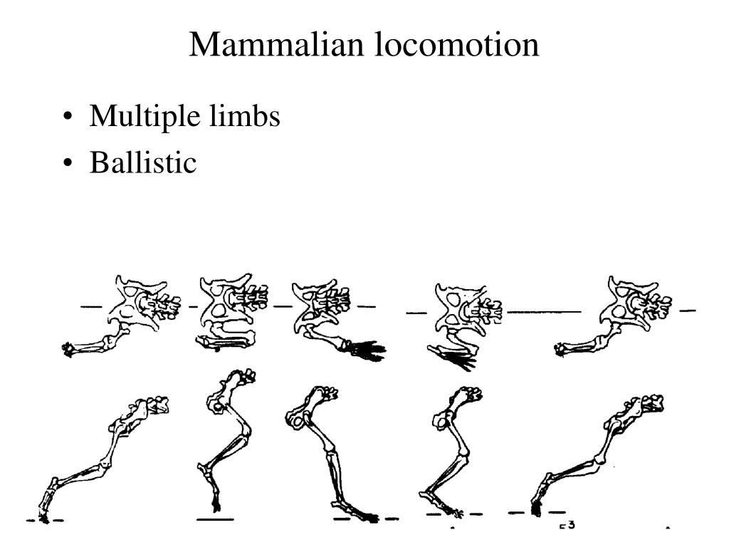 Mammalian locomotion