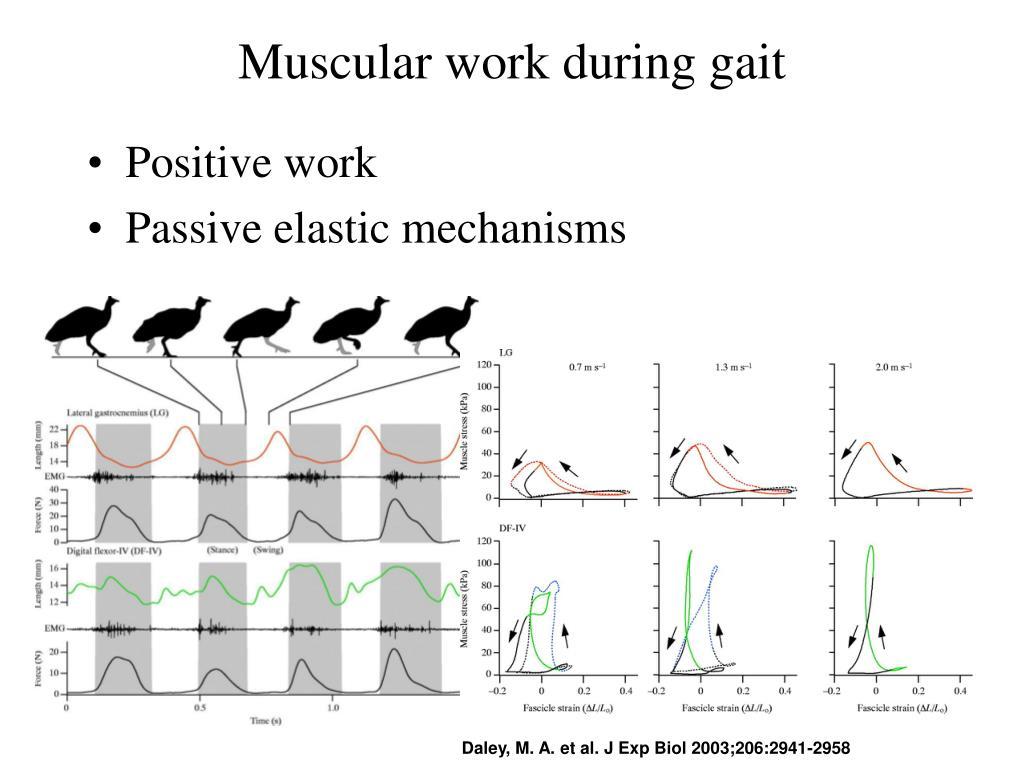Muscular work during gait