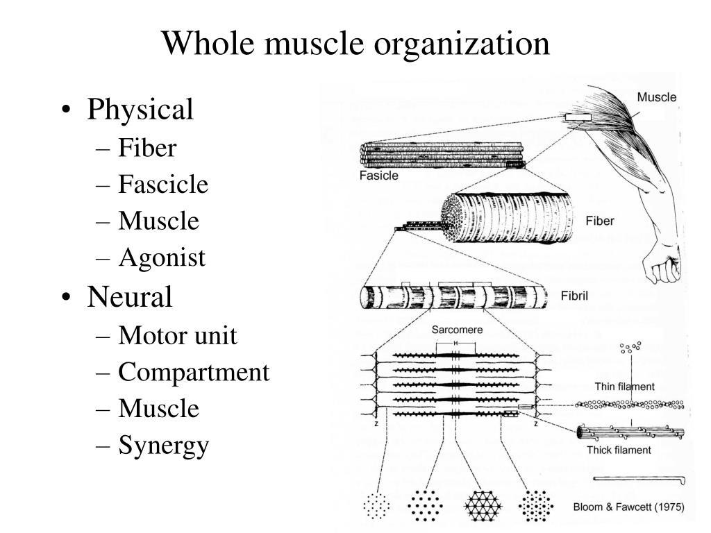 Whole muscle organization