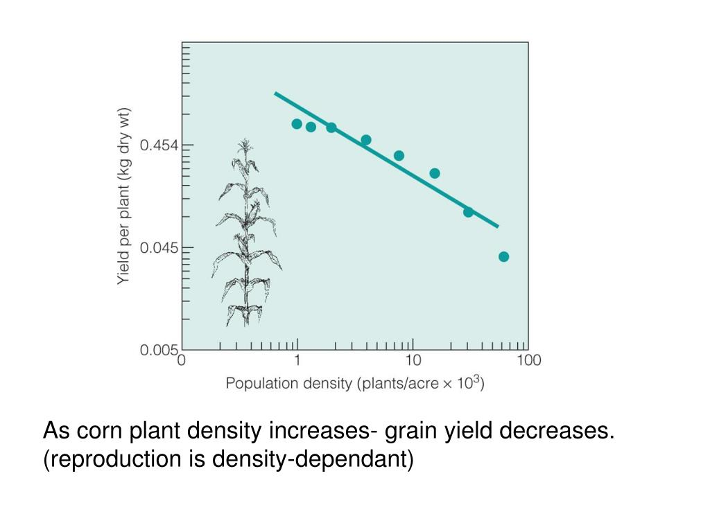 As corn plant density increases- grain yield decreases. (reproduction is density-dependant)