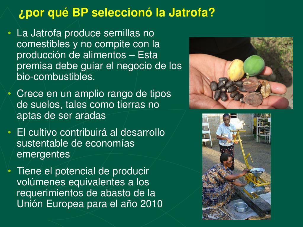¿por qué BP seleccionó la Jatrofa?