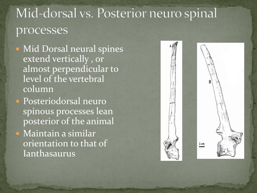 Mid-dorsal vs. Posterior neuro spinal processes