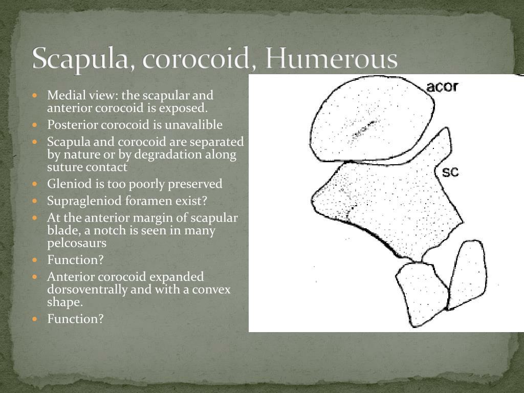 Scapula, corocoid, Humerous