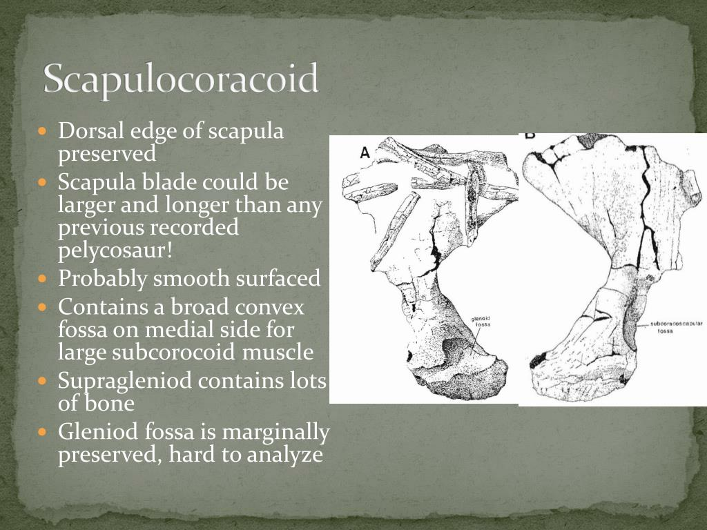 Scapulocoracoid