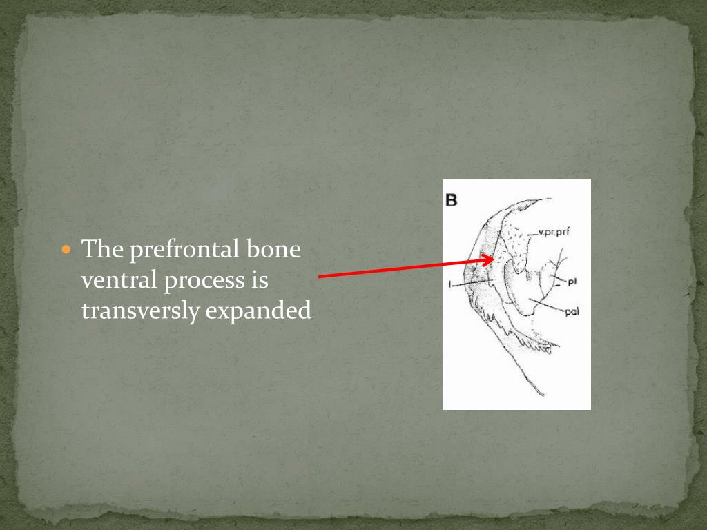 The prefrontal bone ventral process is transversly expanded