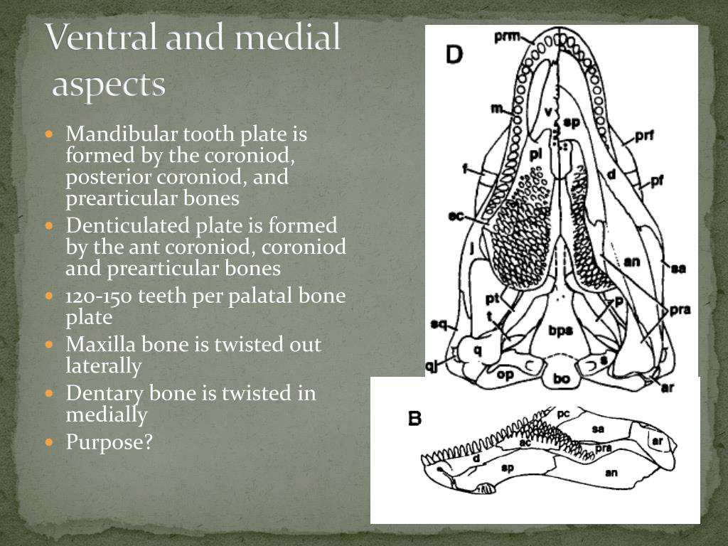 Ventral and medial