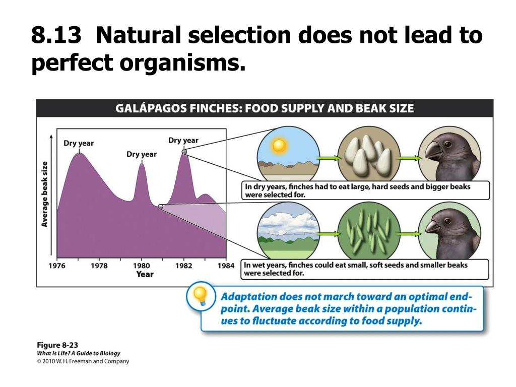 8.13  Natural selection does not lead to perfect organisms.