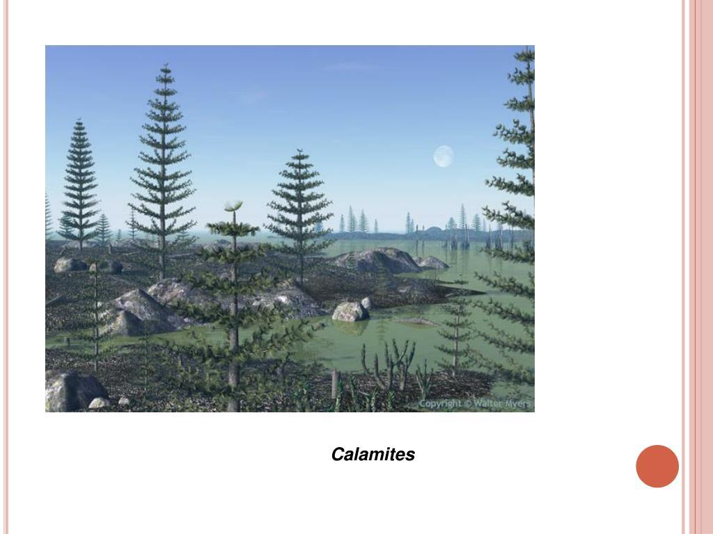 Calamites