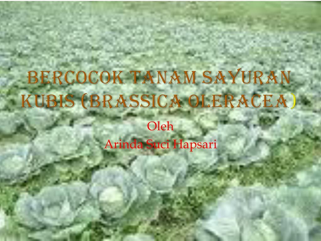 BERCOCOK TANAM SAYURAN KUBIS (