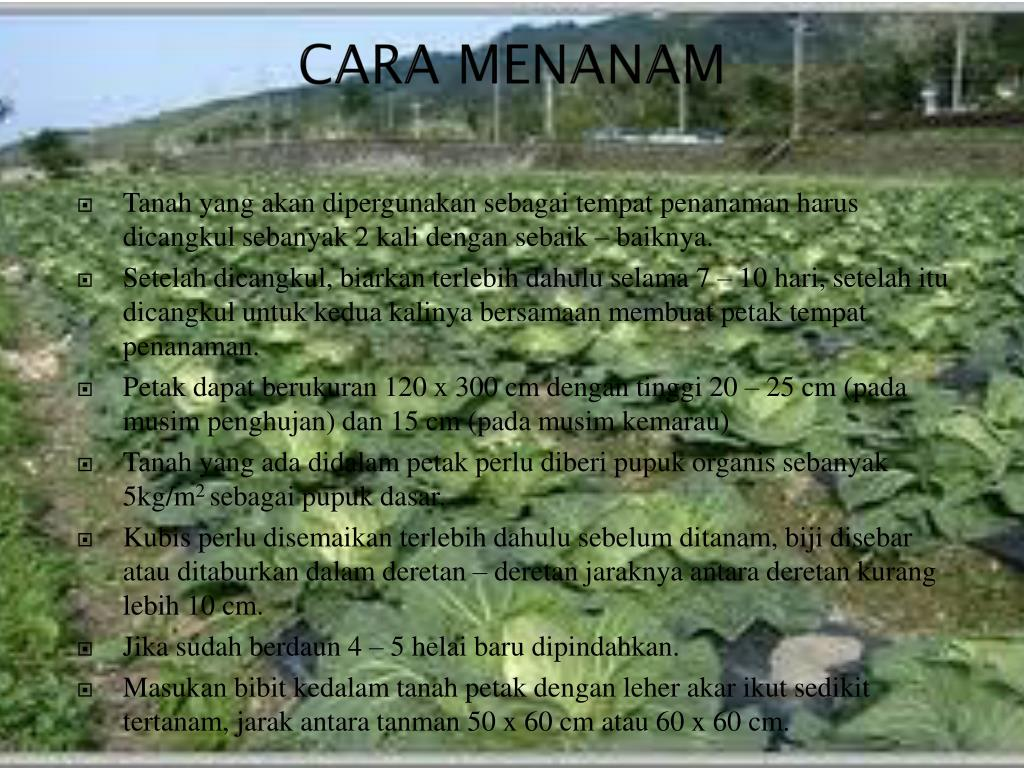 CARA MENANAM