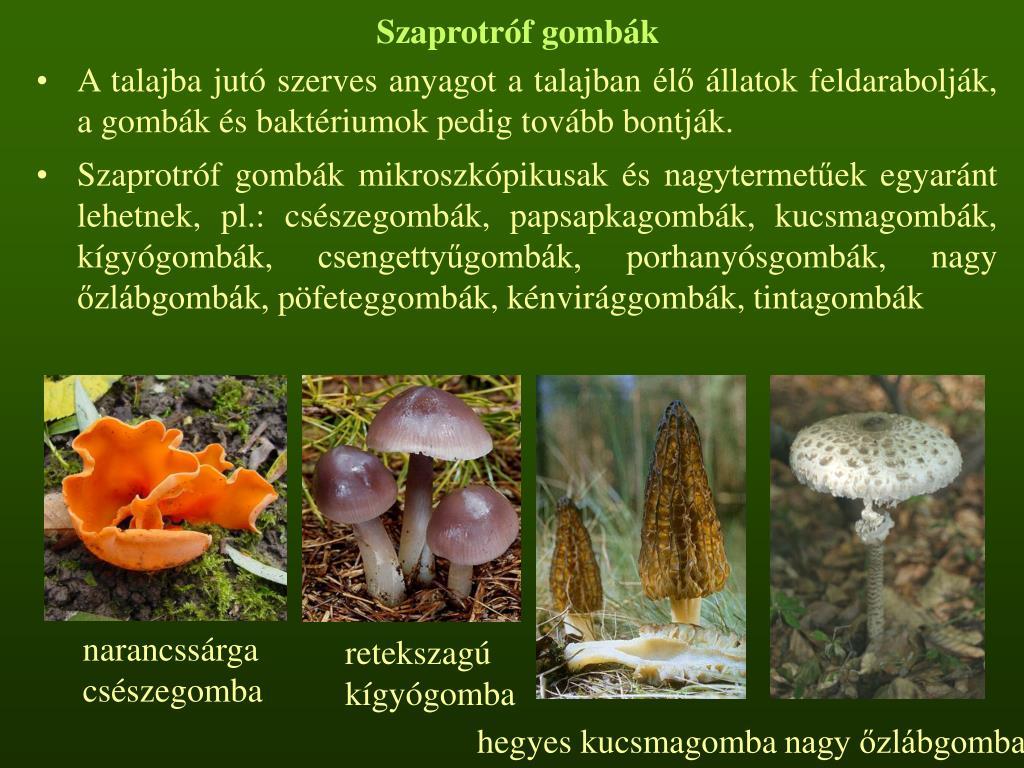 Szaprotróf gombák