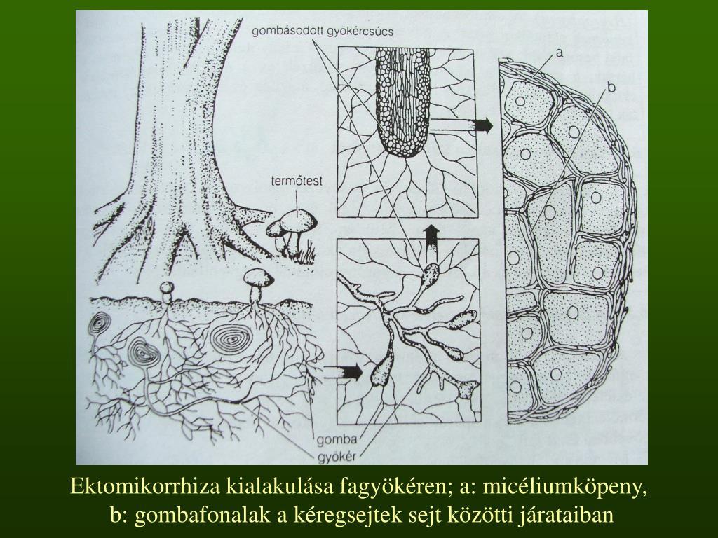 Ektomikorrhiza kialakulása fagyökéren; a: micéliumköpeny,