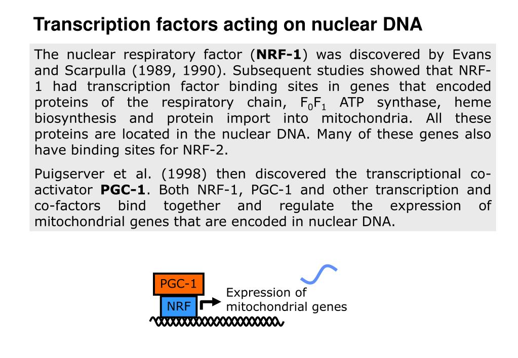 Transcription factors acting on nuclear DNA