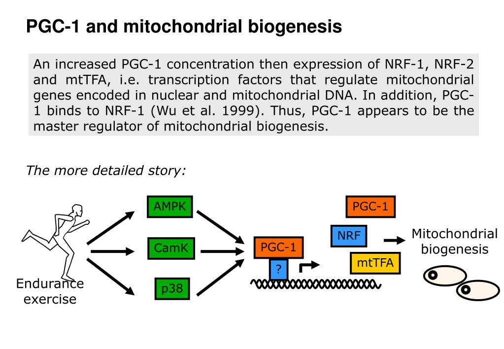 PGC-1 and mitochondrial biogenesis