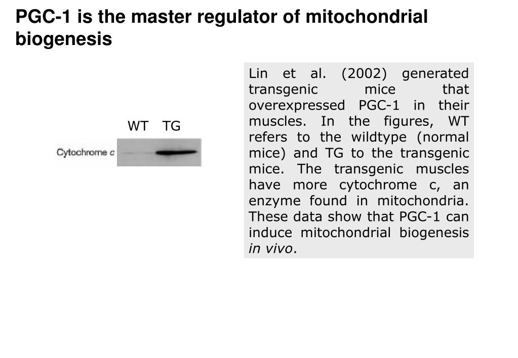 PGC-1 is the master regulator of mitochondrial biogenesis