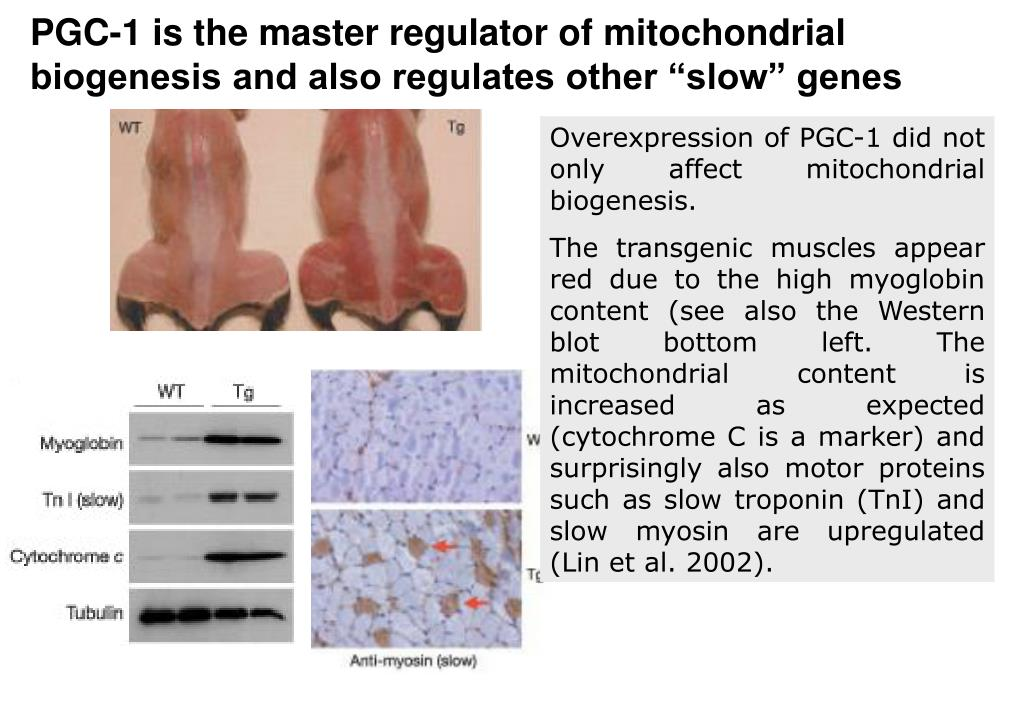 "PGC-1 is the master regulator of mitochondrial biogenesis and also regulates other ""slow"" genes"