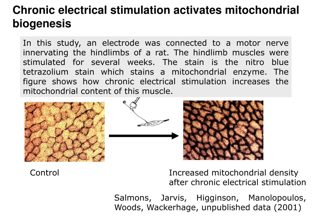 Increased mitochondrial density