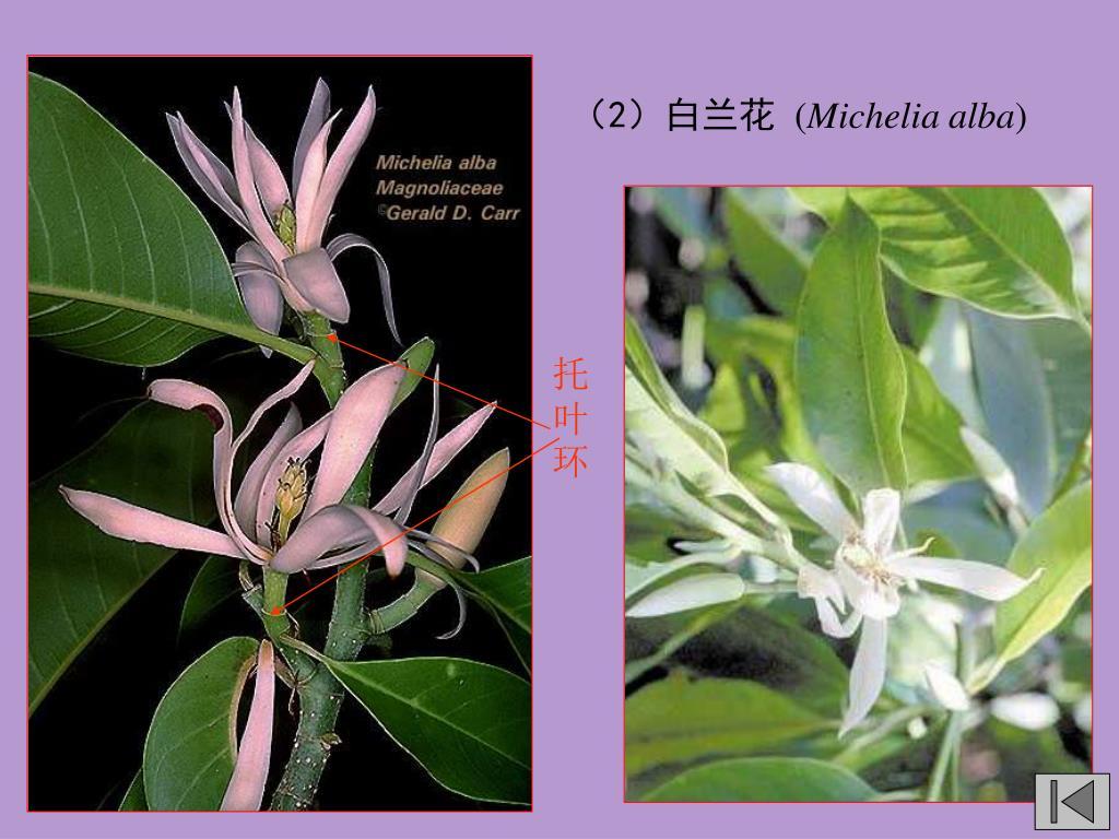 (2)白兰花