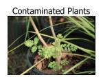 contaminated plants