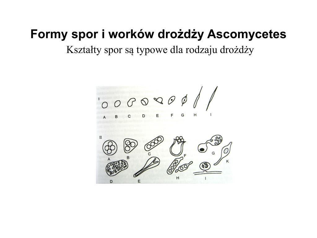 Formy spor i worków drożdży Ascomycetes