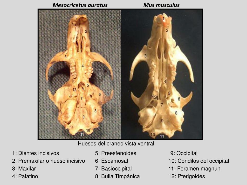 Mesocricetus auratus