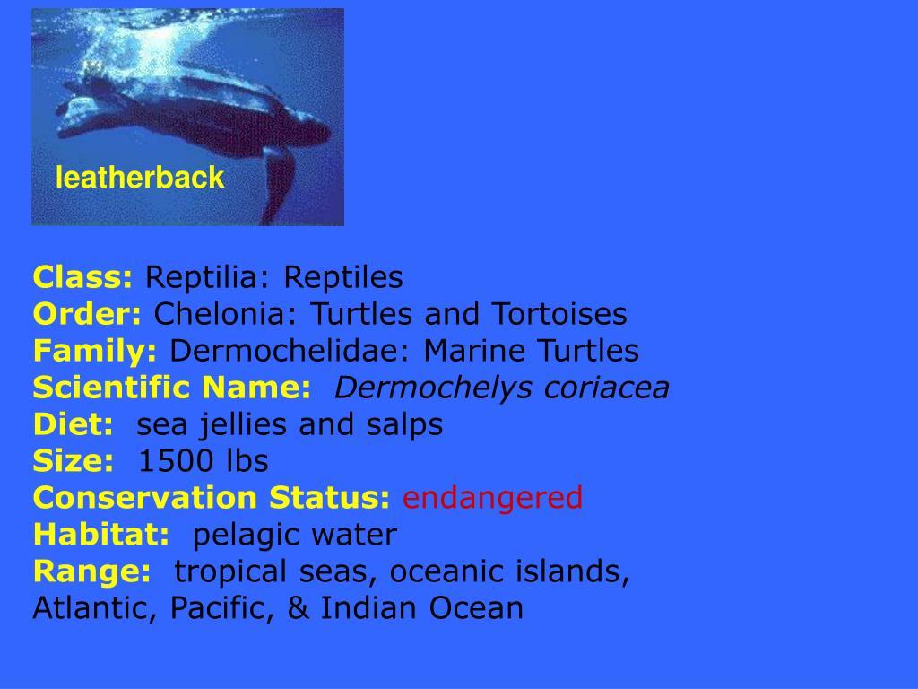 leatherback