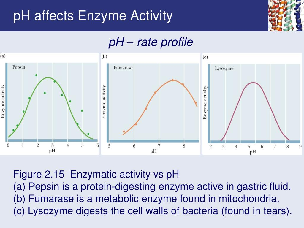 pH affects Enzyme Activity