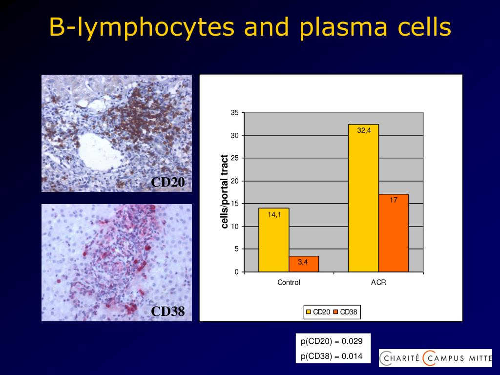 B-lymphocytes and plasma cells