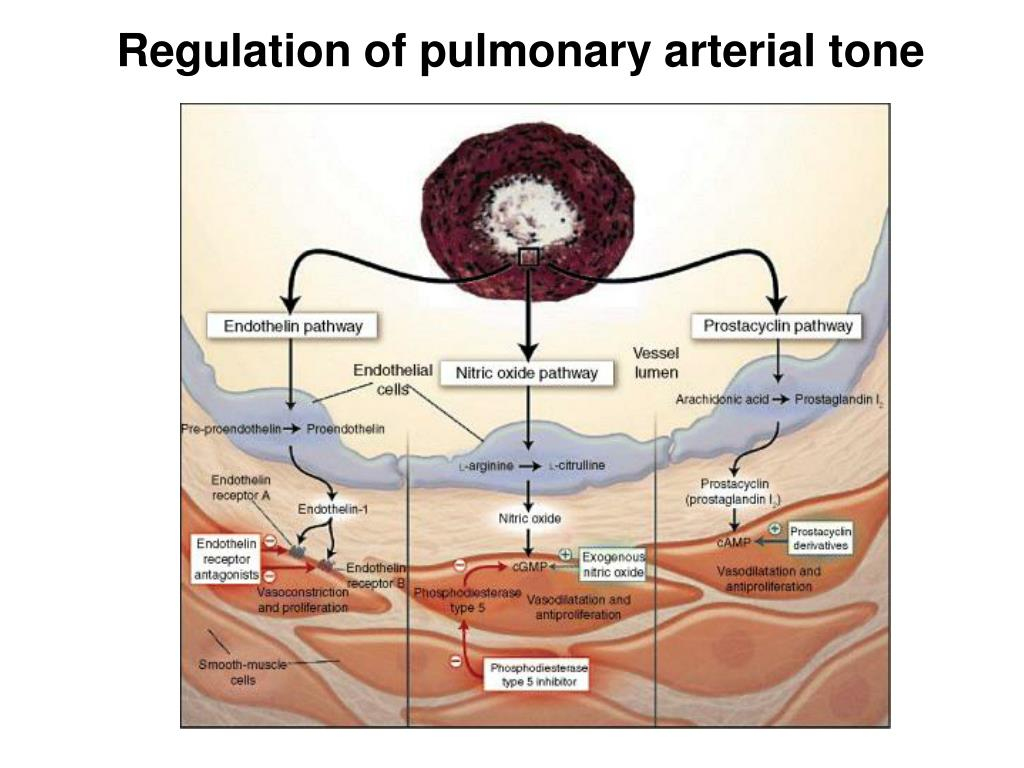 Regulation of pulmonary arterial tone